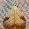 Spotted Grass Moth