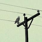 Snowy Owl (immature)