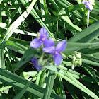 dwarf purple iris