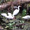 Great Egret, White Ibis