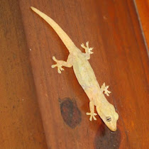 Lizards of Hawaii