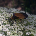 Tailed Net-winged Beetle
