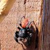 Redback jumping spiders (Phiddippus johnsoni)