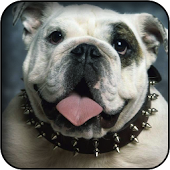 English Bulldog Wallpapers