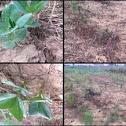 提早种的蚕豆