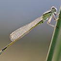 Common Bluetail
