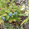 Common Lowbush Blueberry (wild fruit)