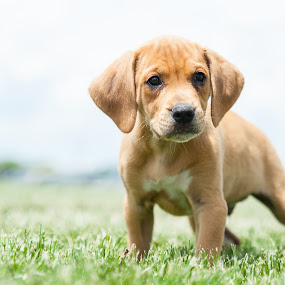 Adorable Puppy by Karen Clemente - Animals - Dogs Puppies ( cute puppy, playful, adorable, puppy, beagle,  )