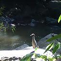 Yaboa  / Yellow-crowned Night-Heron