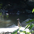 Yaboa  / Yellow-crowned Night-Heron