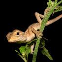 Oriental garden lizard Baby