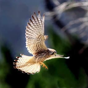 a kestrel by Tzong Lion T - Animals Birds