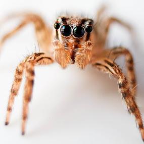 Incy Wincy Spider by Krizzel Almazora - Animals Insects & Spiders ( spider macro closeup insects spiders animals,  )