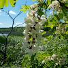 Black Locust tree flowers