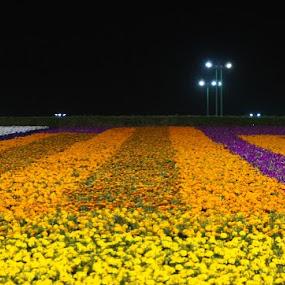 by Kaushik Nandy - Flowers Flower Gardens ( Flowers, Flower Arrangements )