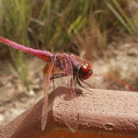Red-veined darter (Dragonfly)