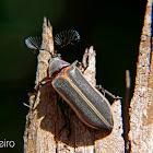 Cicada parasite beetle