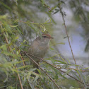 短翅樹鶯 / Bush Warbler