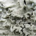 Lichen squamulose