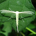 Morning-glory Plume Moth