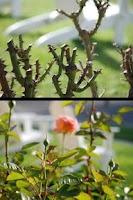 Screenshot of How To Prune Roses