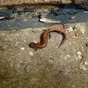 Eastern Redbacked Salamander