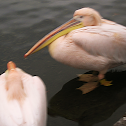 Pink-backed pelican?