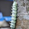 Atlas Moth Caterpillar
