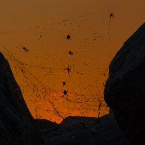 Neoscona crucifera by Shane Moss - Animals Insects & Spiders ( great salt lake, spiders, neoscona crucifera, utah, orb weaver, spider, marina, saltair spiders )