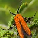 Lycid-mimicking Moth