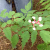 White Baneberry (doll's eyes)