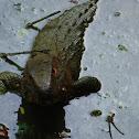 Guyana Caiman Lizard