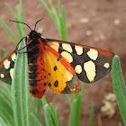 Cream-spot Tiger Moth / Crna medonjica ♀
