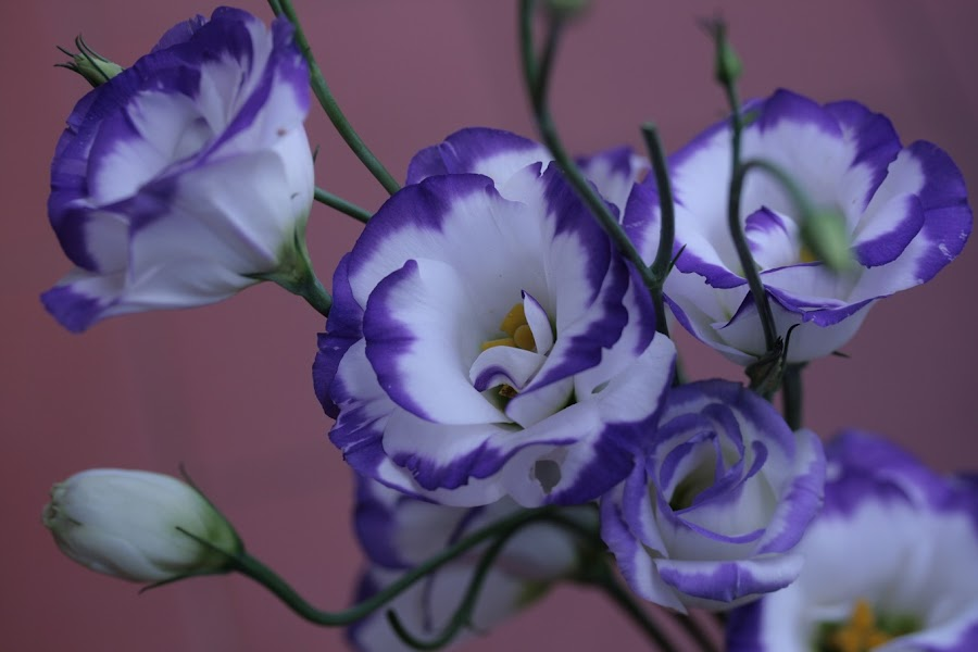 POSING by Giovanna Pagliai - Flowers Flower Arangements ( plant, decorative, blue, collar, white, flower )