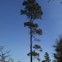 Slash pine, southern yellow pine