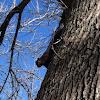 Melanistic Eastern Gray Squirrel