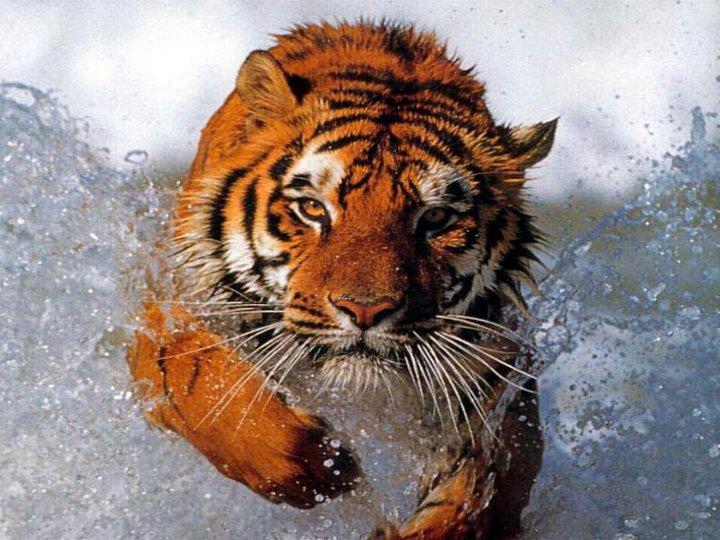 by Sarah Sellars - Animals Lions, Tigers & Big Cats