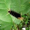 Caterpillar - Oruga