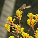 Speckled Hummingbird (Female)