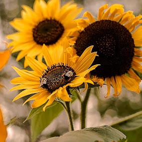 Sunflower Menagerie by Nancy Senchak - Flowers Flower Gardens