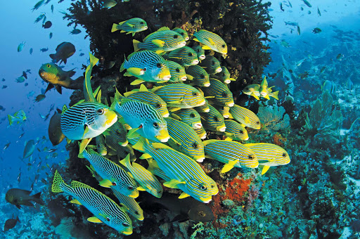 tropical-fish-Raja-Ampa-Indonesia - Take a dive in the exotic waters of Raja Ampat, Indonesia — teeming with tropical fish — when you sail to West Papua Province with Silver Discoverer.