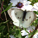 Cabbage Butterfly (The Large White)