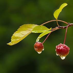 Ripe Crabapples by Sue Matsunaga - Nature Up Close Trees & Bushes