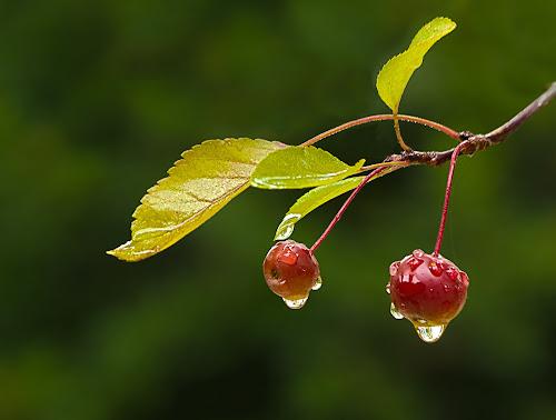 Ripe Crabapples by Sue Matsunaga - Nature Up Close Trees & Bushes