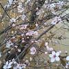 Japanese Cherry Blossom