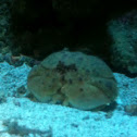 Shame-faced crab - granchio melograno