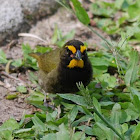 Yellow-faced grassquit (male)