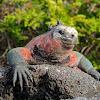 Marina iguana - Hood subspecies