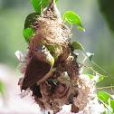 Small Sunbird