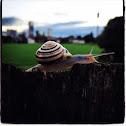 White-lipped snail